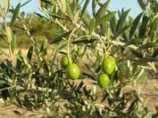 cultivar_types2