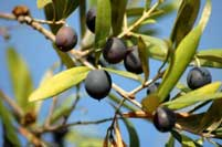 olive-farmer