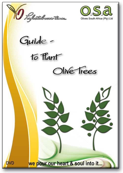 guide to plant olive trees