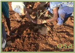 olive tree being planted