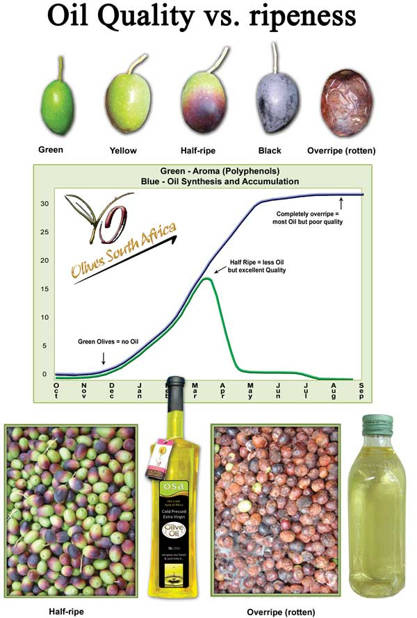 when to harvest olives