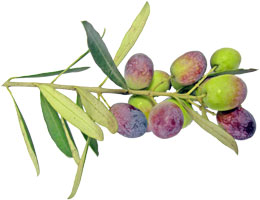 benefits of olives and olive oil